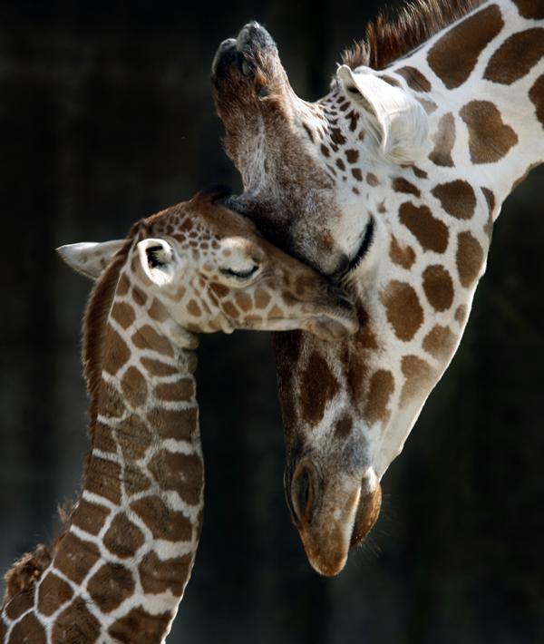 Baby_and_mother_giraffe_memphis_zoo