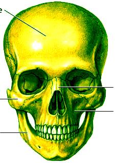 Skullanatomypicture_2